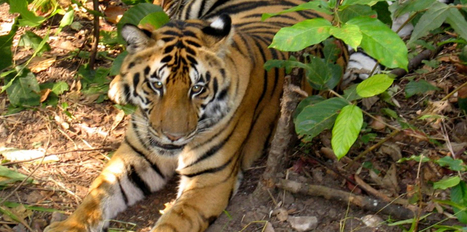 Top 5 National Parks to Spot Tigers  in India | Wildlife in India | Scoop.it
