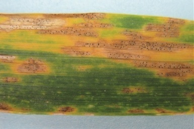 Australia: Wheat faces new threat - fungicide-resistant Septoria tritici blotch | Chitin induced PTI in Wheat | Scoop.it
