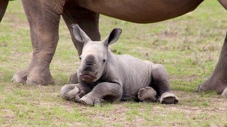 Baby rhino gives Sudan new lease on life | GarryRogers Biosphere News | Scoop.it