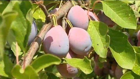 Le pruneau show marque le début de la récolte de la prune - France 3 Aquitaine | Agriculture en Dordogne | Scoop.it