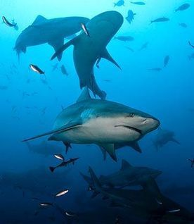 #Shark #Haven Could Save Species from Overfishing - Earthweek - A Diary of the Planet | Rescue our Ocean's & it's species from Man's Pollution! | Scoop.it