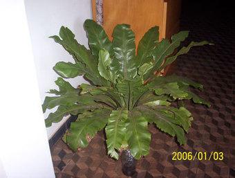 Asplenium nidus (helecho nido de ave): cultivo o cuidados - INFOJARDIN | Flores y plantas | Scoop.it