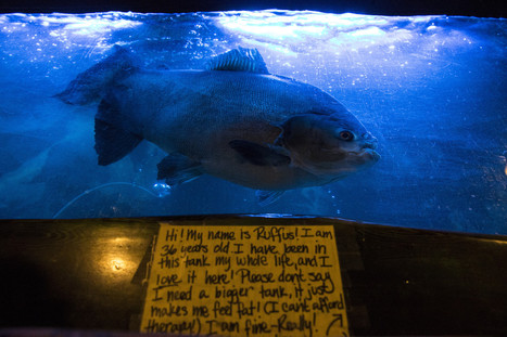 Rufus, a 37-year-old pacu fish and tiki icon, finds a home - Los Angeles Times | Fish: 21st Century Design Essentials | Scoop.it