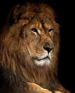 Cecil the lion was skinned and his head removed | Trophy Hunting: It's Impact on Wildlife and People | Scoop.it