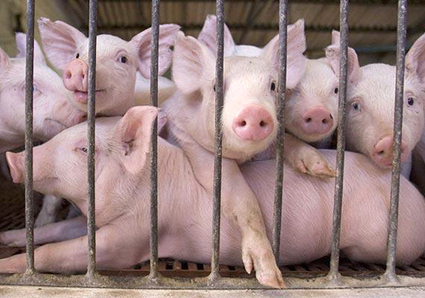 FACTORY FARMING SERIES PART V: Lack of Regulation Spells Trouble in Illinois and Beyond | EcoWatch | Scoop.it