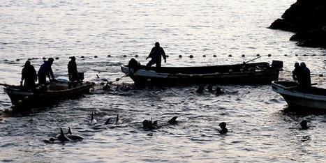 El ministro de Pesca de Japón defiende el método nipón de captura de delfines | Agua | Scoop.it