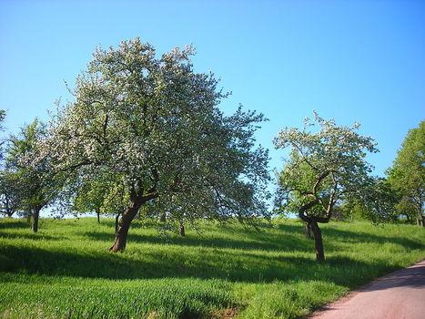 Pommes, pommiers et leurs bioagresseurs (Dosser de liens, B Peiffer) - ForumPhyto   HORTICULTURE BOTANIQUE   Scoop.it