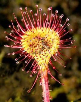10 asombrosas plantas carnívoras - Cañasanta | Marine Pond Garden | Scoop.it
