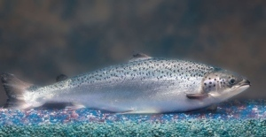 Fast-Growing, Genetically-Engineered Salmon Moves Closer to FDA Approval | Amazing Science | Scoop.it