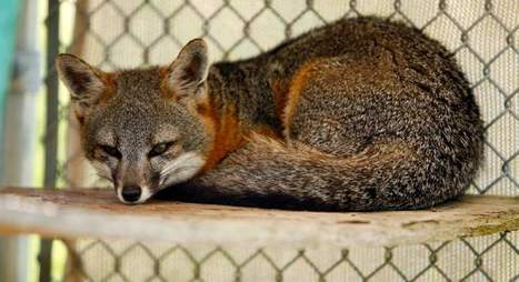 Officials say foxes on California islands back from near-extinction | GarryRogers Biosphere News | Scoop.it