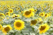 [Eng] Des tournesols pour nettoyer les sols radioactifs au Japon | AFP | Japon : séisme, tsunami & conséquences | Scoop.it