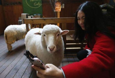 Seul, al bar con le pecore: apre il primo ''Sheep cafè'' | Accoglienza turistica | Scoop.it