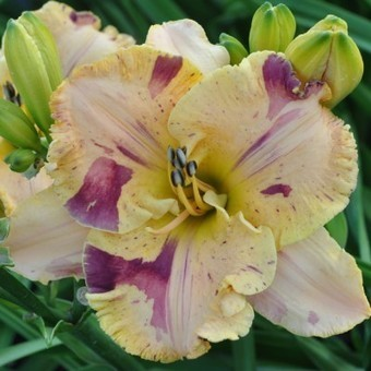 Undefinable - De Vito 2015 | Daylilies - hémérocalles | Scoop.it