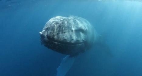 Vidéo plongée HD | À quelques centimètres d'une baleine à bosse ! | Plongeurs.TV | Scoop.it