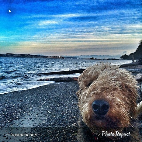 Seascape with Airedale | Airedale Terriers | Scoop.it