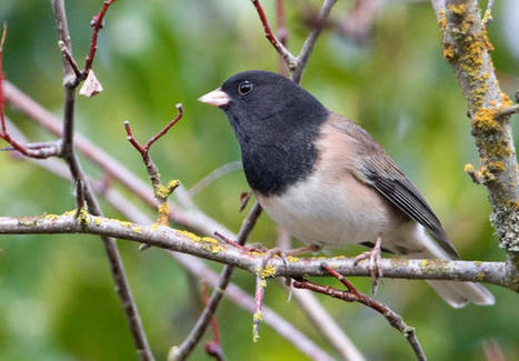 Citizen Scientists Generate Big Data For Annual Bird Count - Jefferson Public Radio | Open Science and Technology Resources | Scoop.it
