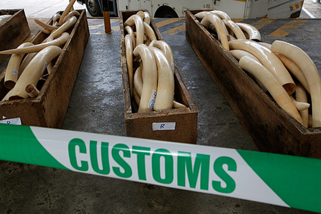 As China agrees to protect wildlife, Kenya puts Chinese ivory smuggler in prison | Wildlife Trafficking: Who Does it? Allows it? | Scoop.it