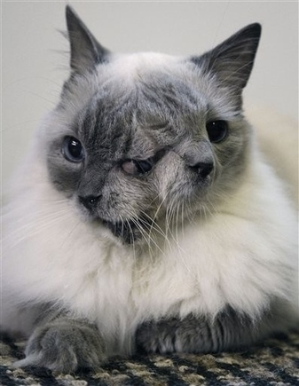 Meet Frank And Louie, The Adorable Two-Faced Cat | Feline Health and News - manhattancats.com | Scoop.it
