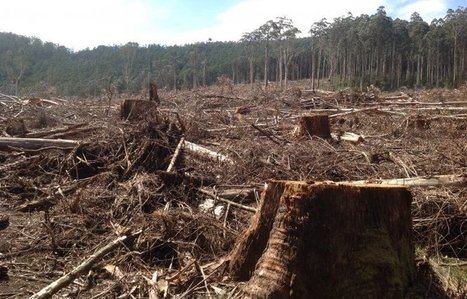 The battle to save the Leadbeater's possum from logging   Australian Forests   Scoop.it
