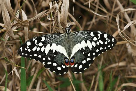 Papilio demodocus (Madagascar) | Madagascar sur le web | Scoop.it