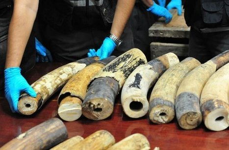 Illegal Ivory Market Starting to Tank, Regulators Say | Wildlife Trafficking: Who Does it? Allows it? | Scoop.it