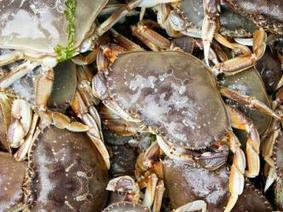 CA Dungeness commercial crab fishery to open May 12th   Aquaculture Directory   Aquaculture Directory   Scoop.it