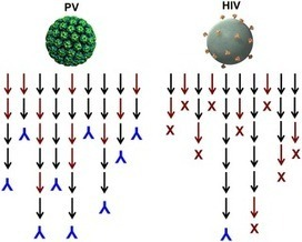 Why HIV Virions Have Low Numbers of Envelope Spikes: Implications for Vaccine Development | Complex Insight  - Understanding our world | Scoop.it