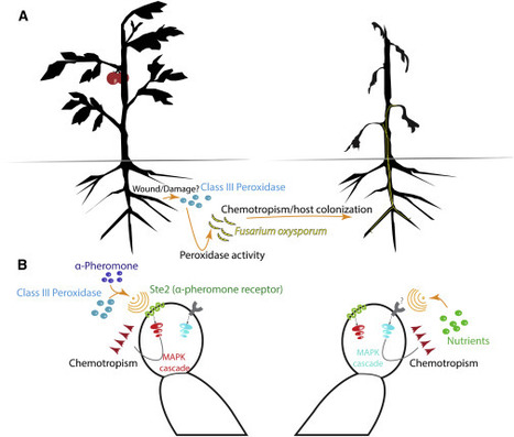 Cell Host & Microbe: Fungal Sex Receptors Recalibrated to Detect Host Plants (2015) | Publications | Scoop.it