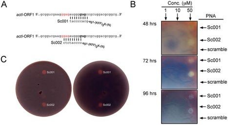 Synthetic RNA Silencing of Actinorhodin Biosynthesis in Streptomyces coelicolor A3(2) | SynBioFromLeukipposInstitute | Scoop.it