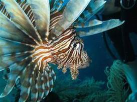 Even sharks are no match for invasive lionfish - NBC News.com   All about water, the oceans, environmental issues   Scoop.it
