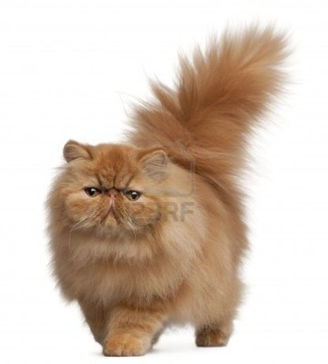 Persian cat for sale   Free Indian Classifieds           www.openfreeads.com   Scoop.it