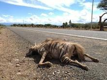 Wildlife Extra News - Lion, Cheetah, Grevy's Zebra and Hyenas all killed on new road in Northern Kenya | Kruger & African Wildlife | Scoop.it