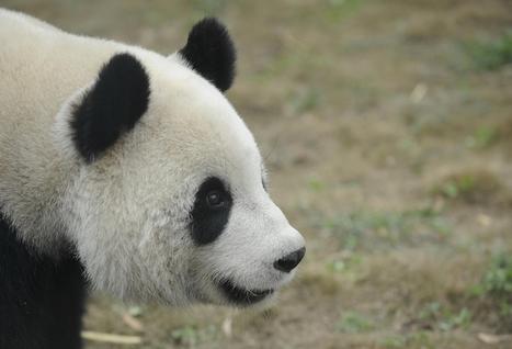 Lettre ouverte des pandas de Pairi Daiza à De Wever   Belgitude   Scoop.it