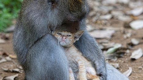 Download Monkey Cat Hugs Caring Images #4255 Wallpaper | animaljetz.com | Animal Wallpaper | Scoop.it