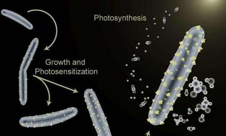 Scientists teach bacterium a new trick for artificial photosynthesis | Plant Biology Teaching Resources (Higher Education) | Scoop.it