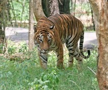 The Importance of Tigers in Wildlife Tourism | Wildlife of India | Scoop.it