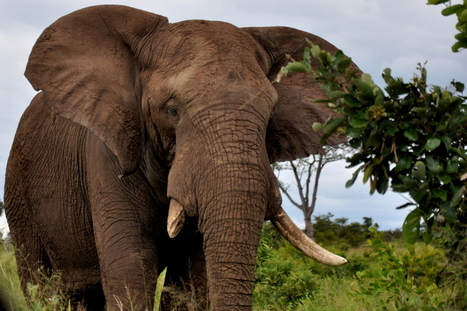 Shock! First elephant poached in South Africa in 10 years | Wildlife Trafficking: Who Does it? Allows it? | Scoop.it