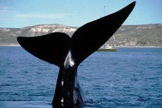 Un nuevo estudio revela el impacto de la cacería en las ballenas francas australes | Planeta Tierra | Scoop.it