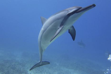 Wahine Charters - Dolphin and Manta Snorkels, Kailua-Kona, Hawaii - (808) 325-2665 | wahinecharters | Scoop.it