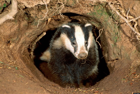 PICTURE: Controversial Badger Cull Starts | Public Relations | Scoop.it