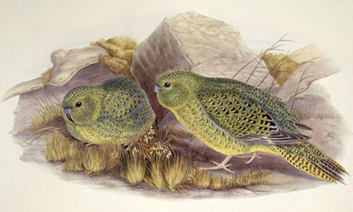 Australian bushman claims to have footage of legendary night parrot | SJC Science | Scoop.it