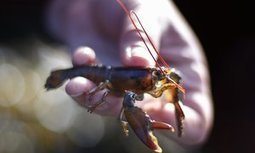Baby lobsters in hot water as ocean temperatures rise | All about water, the oceans, environmental issues | Scoop.it