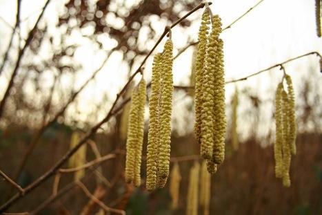 Le biotope du Noisetier - le pollen de l'hiver. | Nature en ville et Biodiversité | Scoop.it
