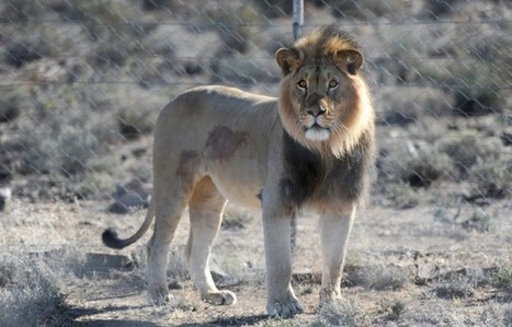 SANParks says Sylvester the lion to be put down   Human-Wildlife Conflict: Who Has the Right of Way?   Scoop.it