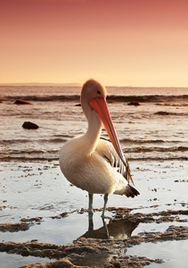 Man pleads no contest to choking pelican to death at Malibu | Wait... What? | Scoop.it
