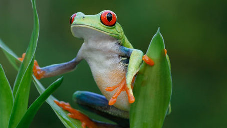 Rescuing frogs, so they can rescue us | A Sense of the Ridiculous | Scoop.it