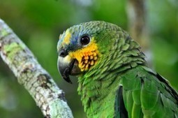 How do they talk to the parrots if they have vocal cords? | onlinepetanswers | Scoop.it
