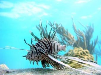 Lionfish expedition: Down deep is where the big, scary ones live | Amocean OceanScoops | Scoop.it