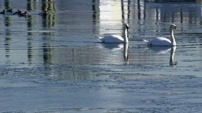 Des cygnes décapités retrouvés dans le Bassin d'Arcachon | Chronique d'un pays où il ne se passe rien... ou presque ! | Scoop.it