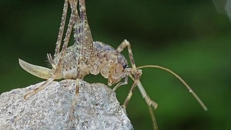 [Orthoptères : Une espèce nouvelle pour la Suisse] Une sauterelle inconnue a été découverte en Suisse | EntomoNews | Scoop.it